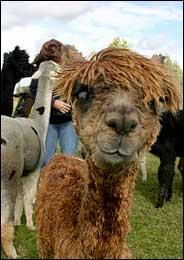 alpaca (1)